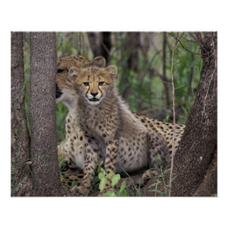 Africa, South Africa, Phinda Preserve. Cheetah Poster