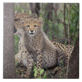 Africa, South Africa, Phinda Preserve. Cheetah Tile