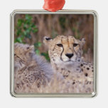 Africa, South Africa, Tswalu Reserve. Cheetahs Christmas Tree Ornaments