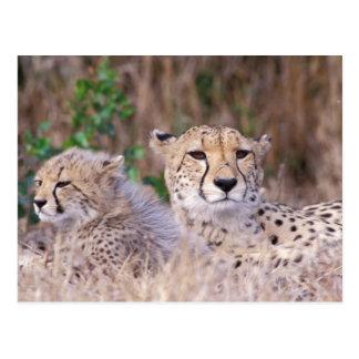 Africa, South Africa, Tswalu Reserve. Cheetahs Postcard