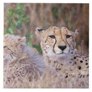 África, Suráfrica, reserva de Tswalu. Guepardos Azulejo Cuadrado Grande