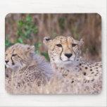 África, Suráfrica, reserva de Tswalu. Guepardos Tapetes De Ratón