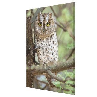 Africa. Tanzania. African Scops Owl at Tarangire 2 Canvas Print