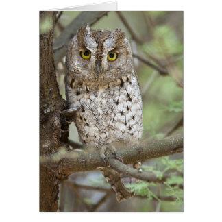 Africa. Tanzania. African Scops Owl at Tarangire 2 Card