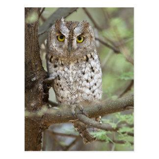 Africa. Tanzania. African Scops Owl at Tarangire 2 Postcard