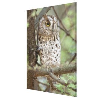 Africa. Tanzania. African Scops Owl at Tarangire Canvas Print