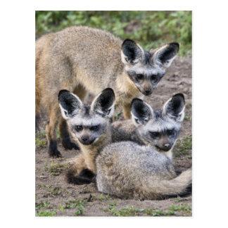 Africa. Tanzania. Bat-Eared Foxes at Ndutu in Postcard
