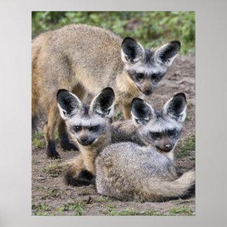 Africa. Tanzania. Bat-Eared Foxes at Ndutu in Poster