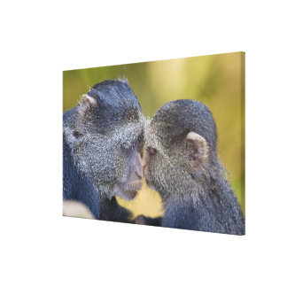 Africa. Tanzania. Blue Monkey mother with young Stretched Canvas Print