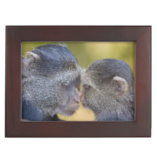 Africa. Tanzania. Blue Monkey mother with young Memory Box