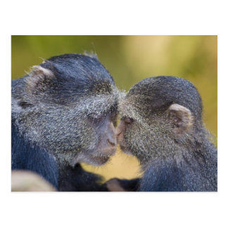 Africa. Tanzania. Blue Monkey mother with young Postcard