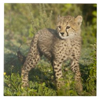 África. Tanzania. Cachorro del guepardo en Ndutu e Azulejo Cuadrado Grande
