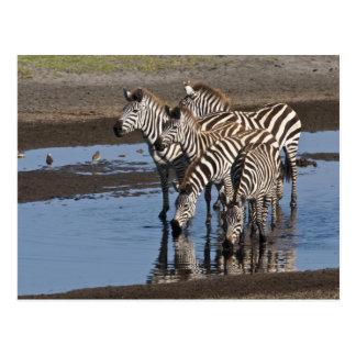 África. Tanzania. Cebras que beben en Ndutu Postales