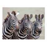 África, Tanzania, cebras Tarjeta Postal