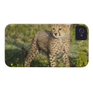 Africa. Tanzania. Cheetah cub at Ndutu in the iPhone 4 Covers