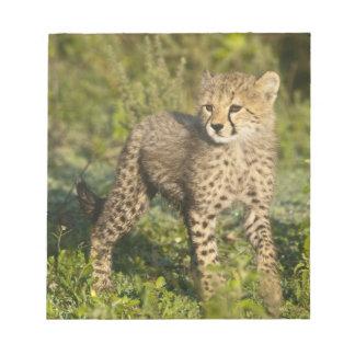 Africa. Tanzania. Cheetah cub at Ndutu in the Notepad