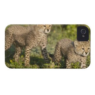 Africa. Tanzania. Cheetah cubs at Ndutu in the iPhone 4 Case