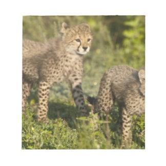 Africa. Tanzania. Cheetah cubs at Ndutu in the Notepad