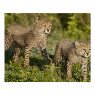 Africa. Tanzania. Cheetah cubs at Ndutu in the Poster