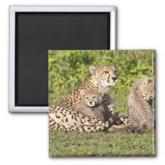 Africa. Tanzania. Cheetah mother and cubs 2 Magnet