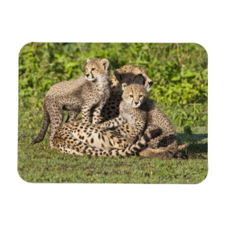 Africa. Tanzania. Cheetah mother and cubs Magnet