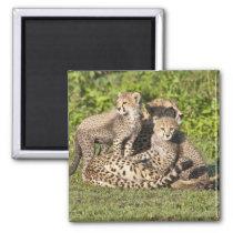 Africa. Tanzania. Cheetah mother and cubs Magnet