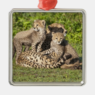 Africa. Tanzania. Cheetah mother and cubs Square Metal Christmas Ornament