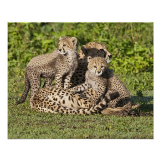 Africa. Tanzania. Cheetah mother and cubs Poster