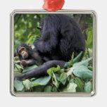 África, Tanzania, chimpancé de la hembra de Gombe  Adornos De Navidad