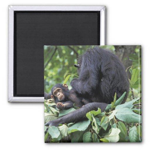África, Tanzania, chimpancé de la hembra de Gombe  Imanes De Nevera