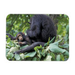 África, Tanzania, chimpancé de la hembra de Gombe  Iman Flexible