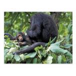 África, Tanzania, chimpancé de la hembra de Gombe  Tarjetas Postales