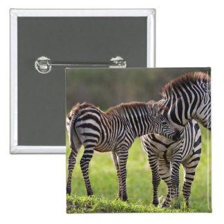 Africa. Tanzania. Common Zebra mother and baby Button
