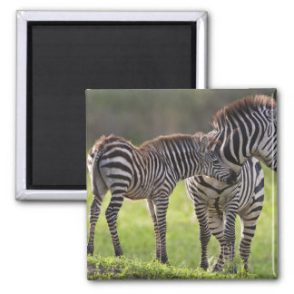Africa. Tanzania. Common Zebra mother and baby Magnet