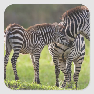 Africa. Tanzania. Common Zebra mother and baby Square Sticker