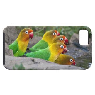 África. Tanzania. Consumición de los Lovebirds de iPhone 5 Fundas