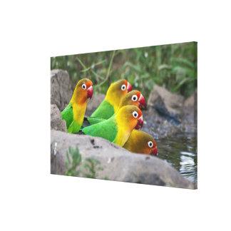 África. Tanzania. Consumición de los Lovebirds de  Lona Envuelta Para Galerias