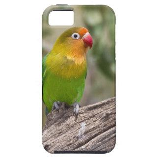 África. Tanzania. El Lovebird de Fischer en Ndutu iPhone 5 Fundas