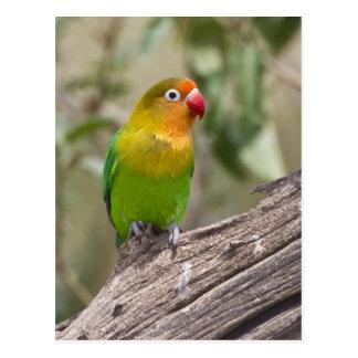 África. Tanzania. El Lovebird de Fischer en Ndutu Postales