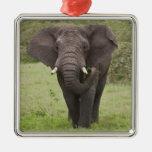 África. Tanzania. Elefante en el cráter de Adorno Navideño Cuadrado De Metal