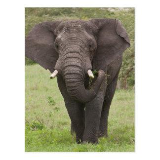 Africa. Tanzania. Elephant at Ngorongoro Crater, Postcard