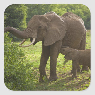 Africa. Tanzania. Elephant mother and calf at 2 Square Sticker