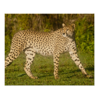 Africa. Tanzania. Female Cheetah at Ndutu in the 2 Poster