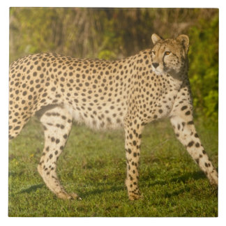 Africa. Tanzania. Female Cheetah at Ndutu in the 2 Tile
