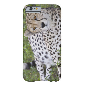 Africa. Tanzania. Female Cheetah at Ndutu in the Barely There iPhone 6 Case
