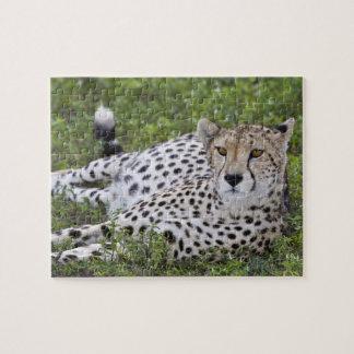 Africa. Tanzania. Female Cheetah at Ndutu in the Jigsaw Puzzles