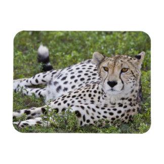 Africa. Tanzania. Female Cheetah at Ndutu in the Rectangle Magnet