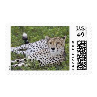 Africa. Tanzania. Female Cheetah at Ndutu in the Stamp