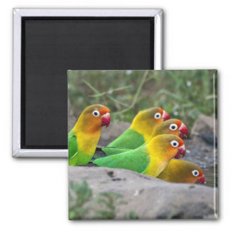Africa. Tanzania. Fischer's Lovebirds drinking 2 Inch Square Magnet