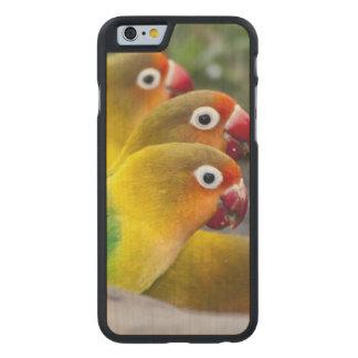 Africa. Tanzania. Fischer's Lovebirds drinking Carved Maple iPhone 6 Slim Case
